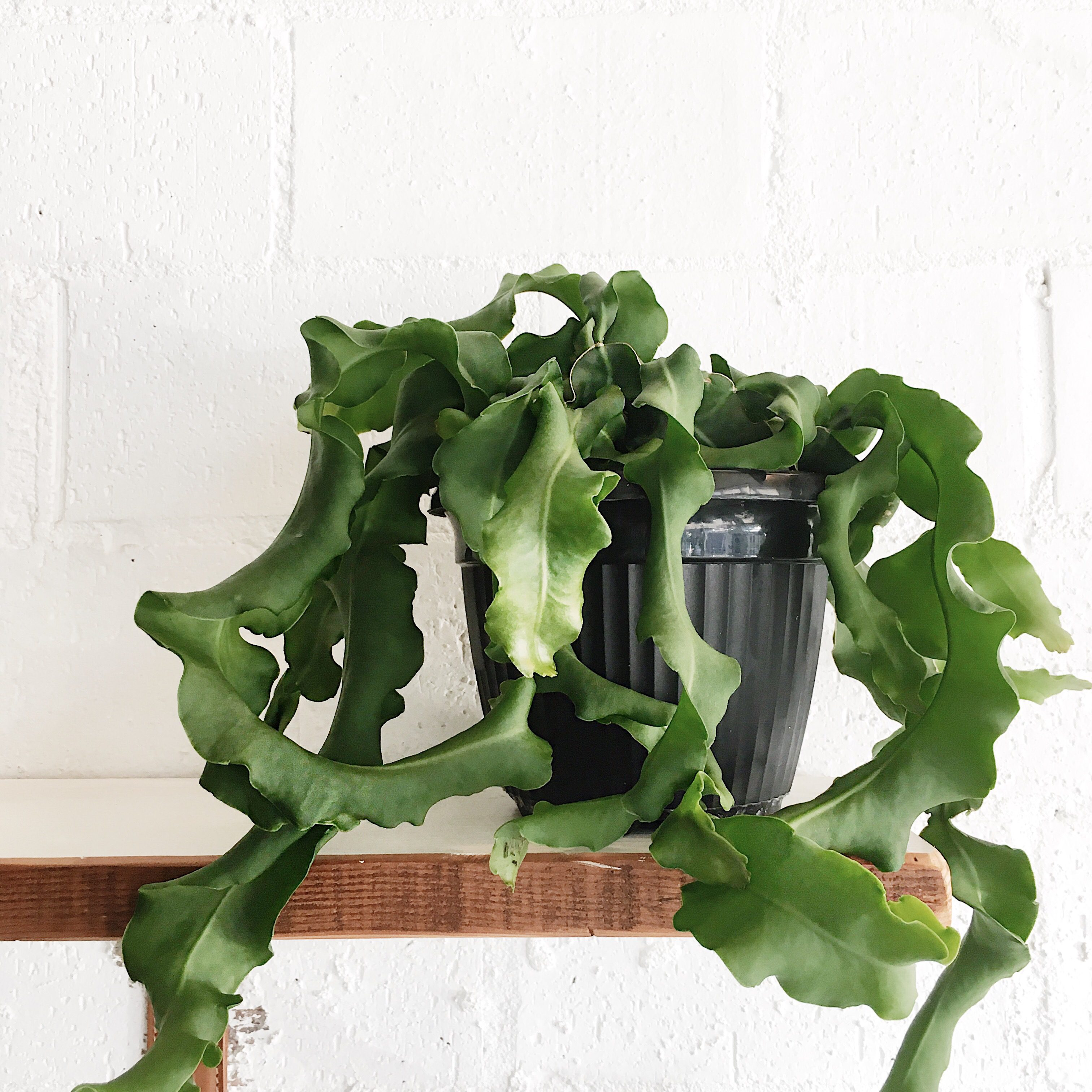 indoor plants that like direct sunlight grow indoors 7 epiphyllum guatemalense did someone say seaweed also known as curly sue for her curved and curling tendrils the has delicate the top 10 indoor plants to decorate your home fat mum slim